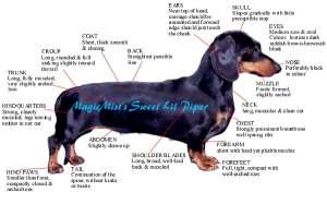 dachshund standard image1